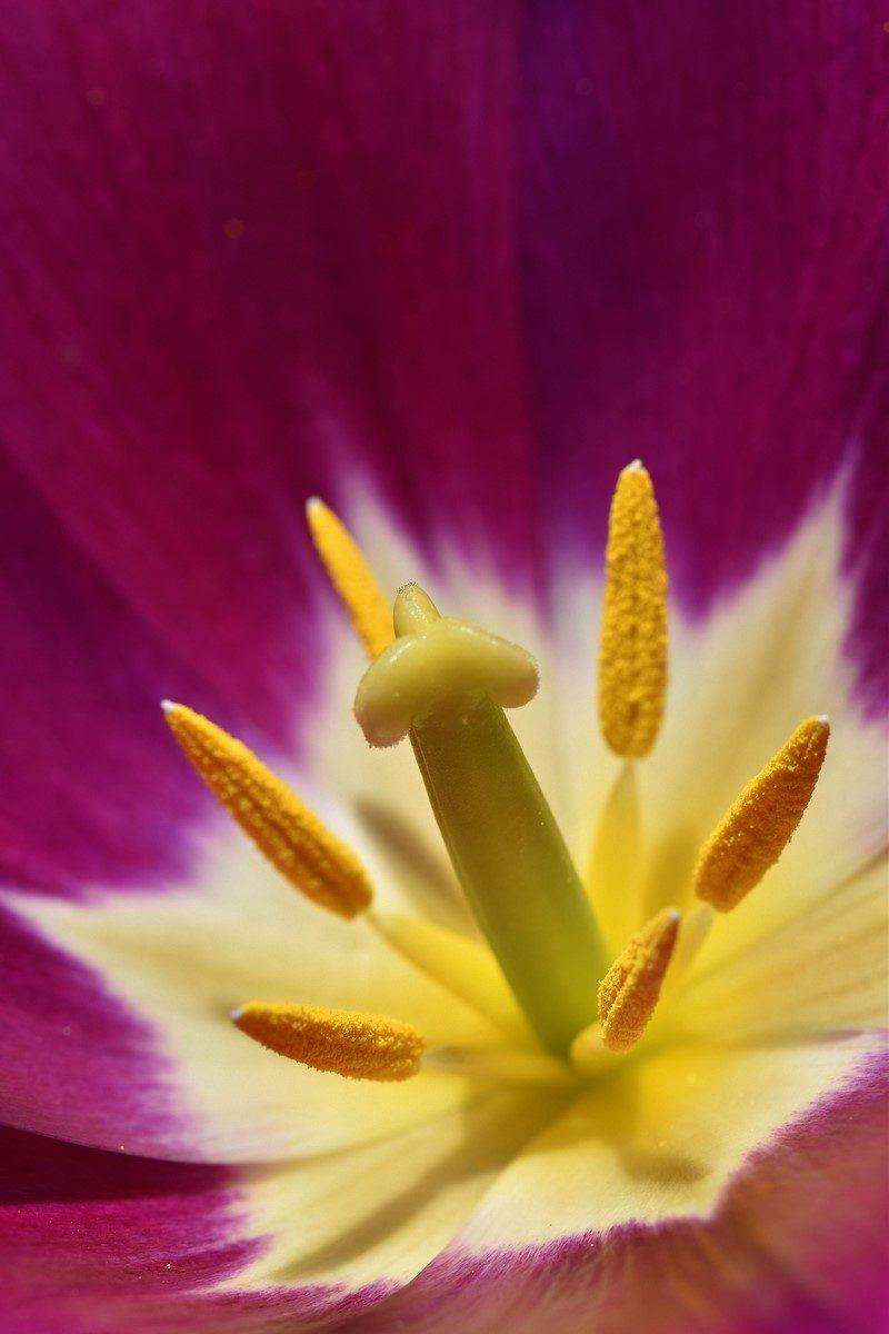le coeur d'une tulipe