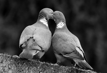 couple de pigeon