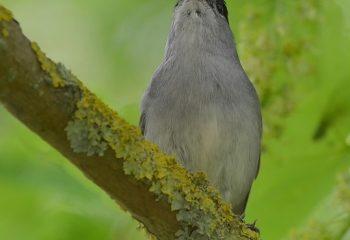 Fauvette à tête noire ( mâle )