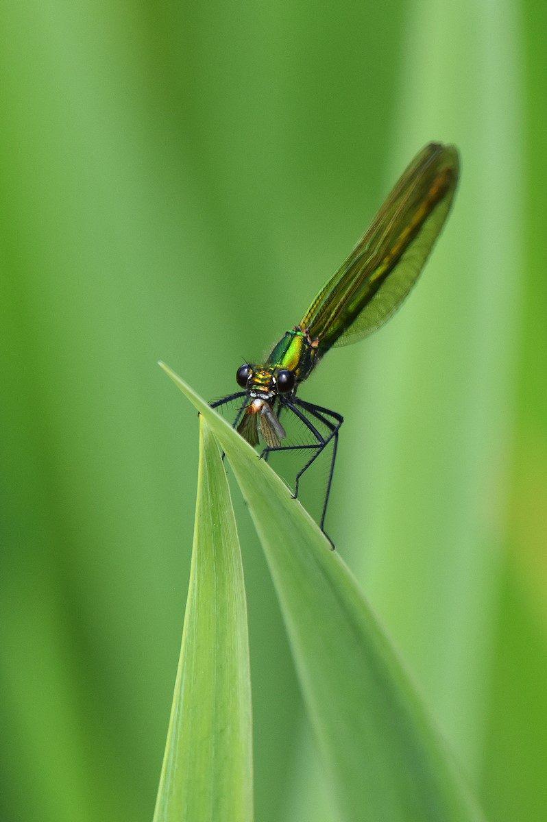 caloptérix éclatant femelle