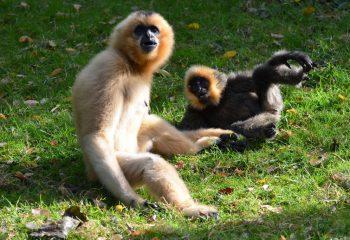 gibbon et son petit