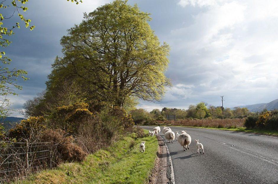 moutons en cavale