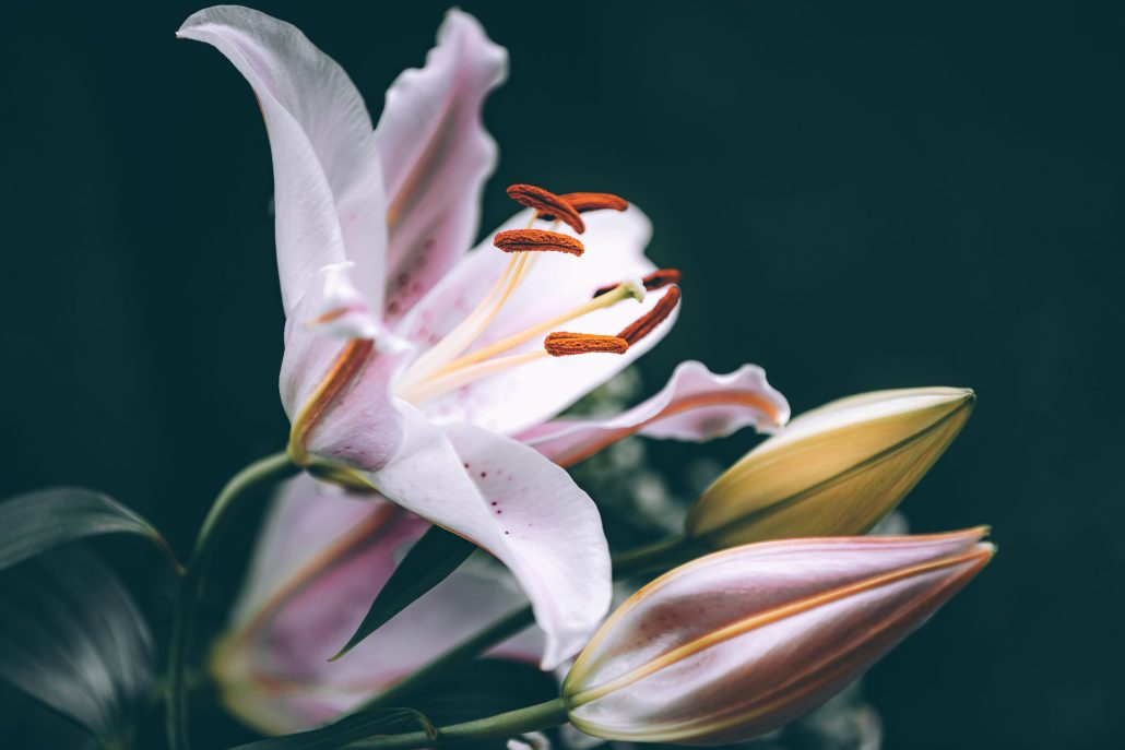 Lilium, détail