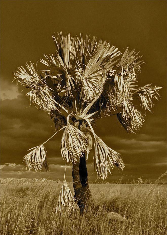 arbre sepia