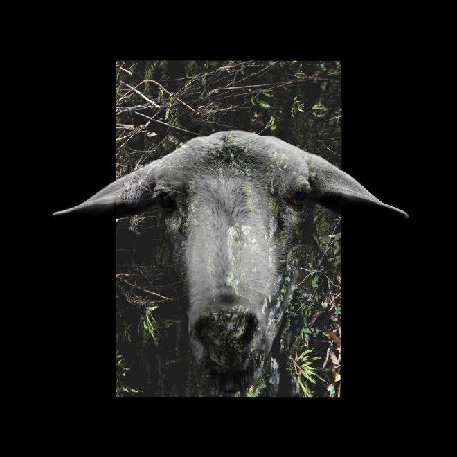 Wild Sheep
