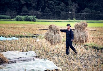 Harvest in Ricefield