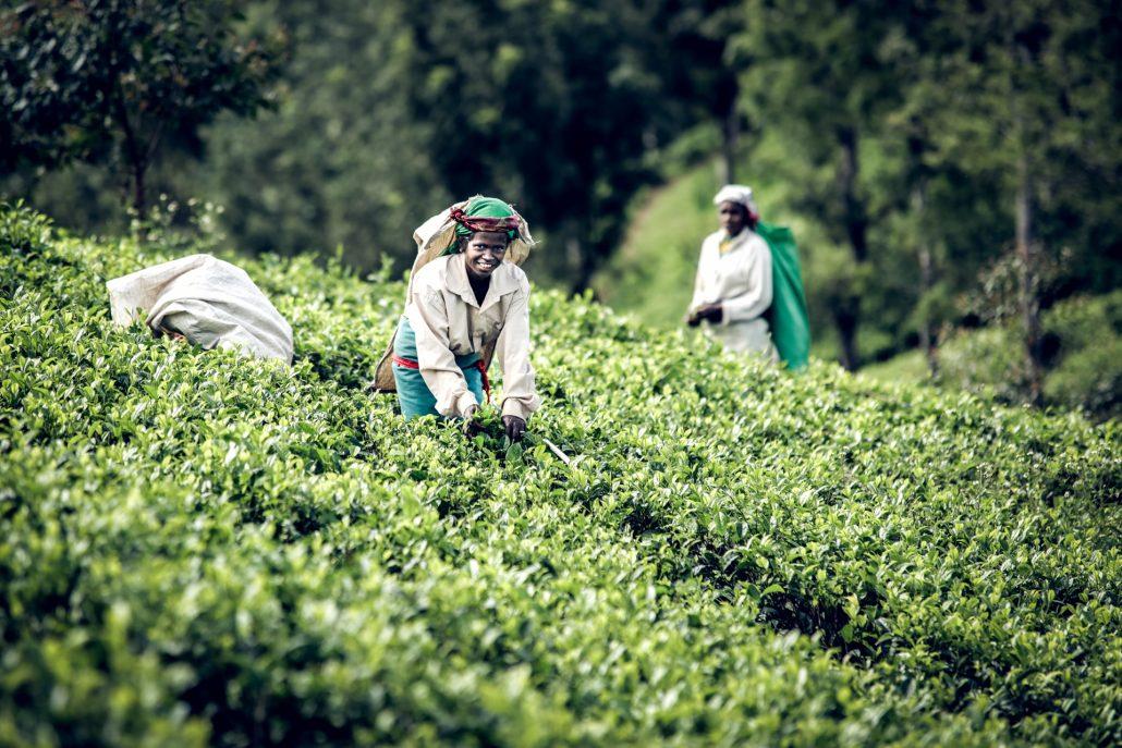 Tea Leaf Picker