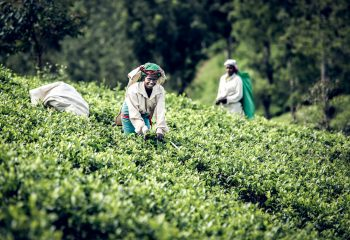Tea Leaf Picker