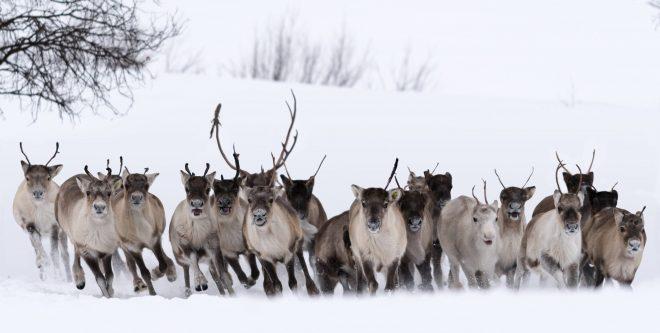 Laponie sauvage